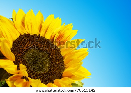 sunflower isolated on blue - stock photo