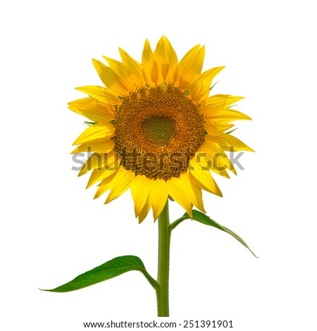 Sunflower isolated on white - stock photo