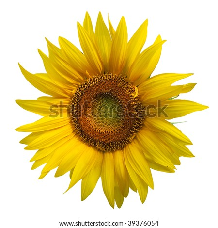 Sunflower isolated on white