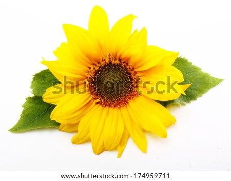 Sunflower isolated on white background. - stock photo