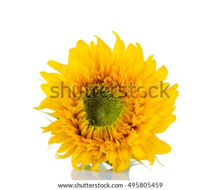 Sunflower isolated on white background close up