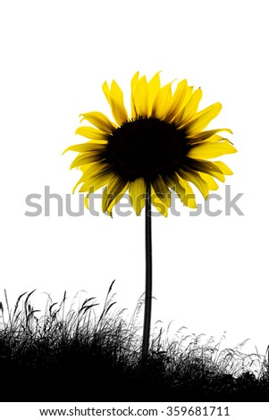 Sunflower isolated on white background - on a meadow  - stock photo