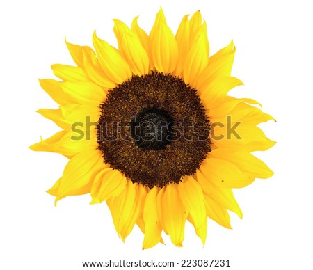 Sunflower isolated on white background with clipping path - stock photo