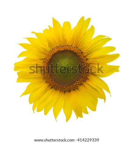 Sunflower isolated on white background, with clipping path - stock photo