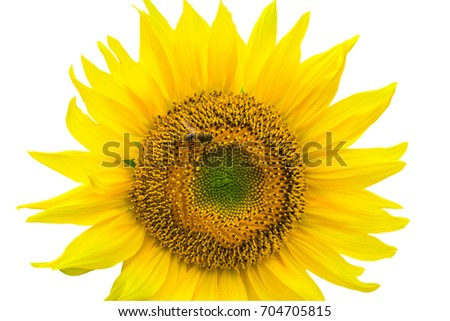 Sunflower isolated on white background with clipping path by Macro lens .