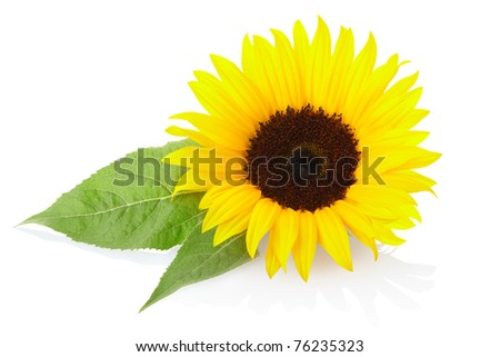 Sunflower isolated on white, clipping path included - stock photo