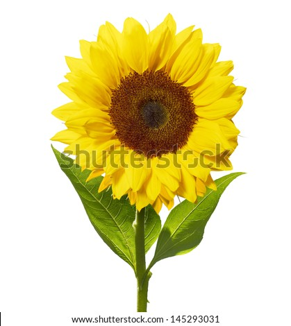 sunflower isolated on white with clipping path - stock photo