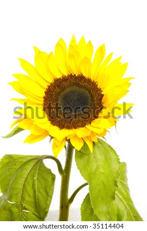 Sunflower isolated over white background.