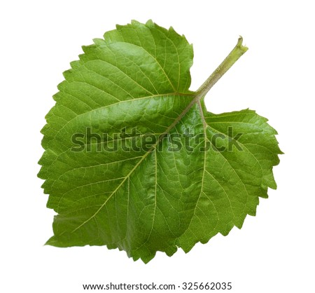 Sunflower leaf - stock photo