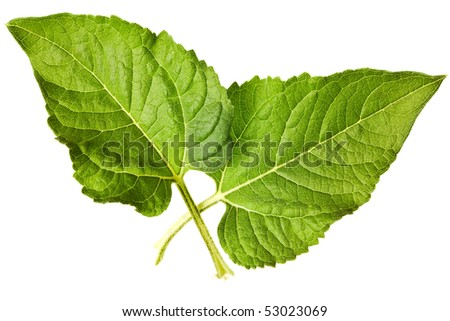 sunflower leaves isolated on a pure white background