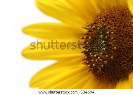 sunflower macro, angled and shot over white with shallow depth of field