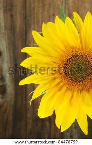Sunflower macro closeup - stock photo
