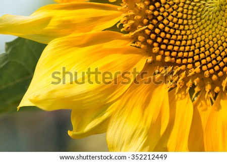Sunflower natural background. Sunflower blooming. - stock photo