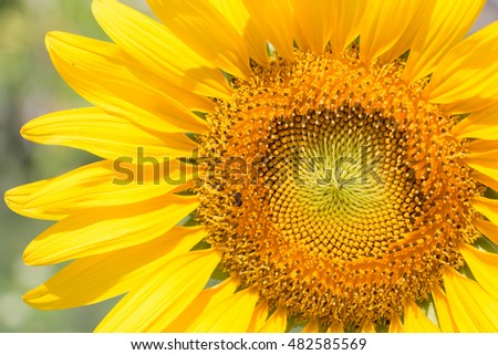 Sunflower natural background. Sunflower blooming.