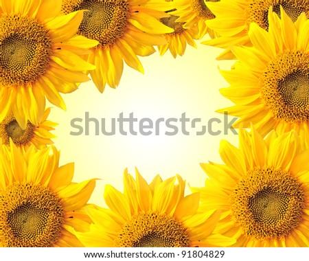 Sunflower nature summer  background - stock photo