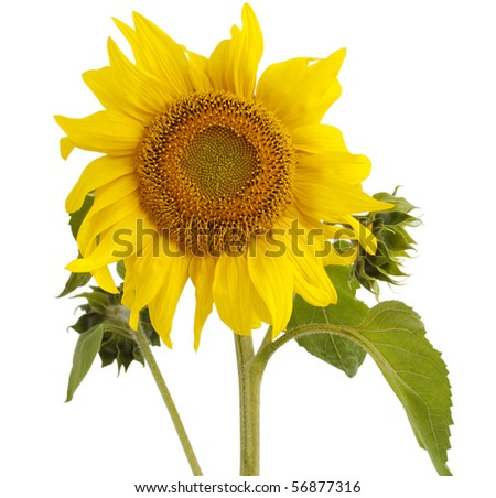 sunflower oil and sunflower on white background