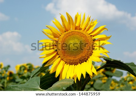 Sunflower on a background of blue sky - stock photo