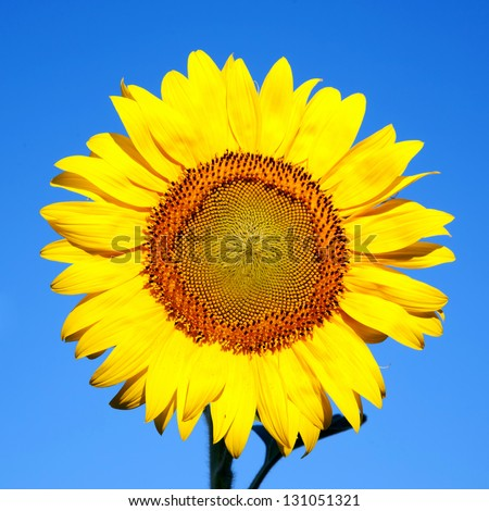 Sunflower on a background of blue sky. The bright colors of summer - stock photo