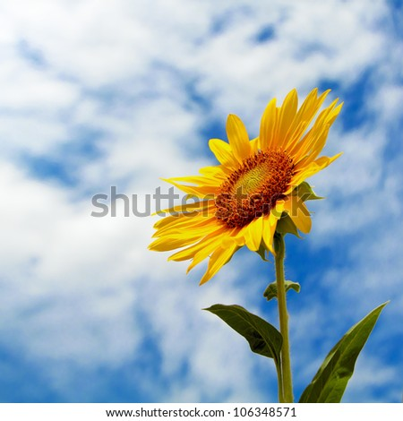 sunflower on a cloudy sky - stock photo