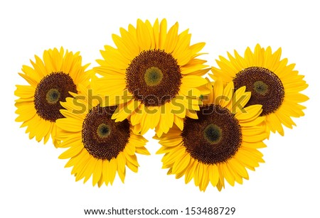 Sunflower on a white background. - stock photo