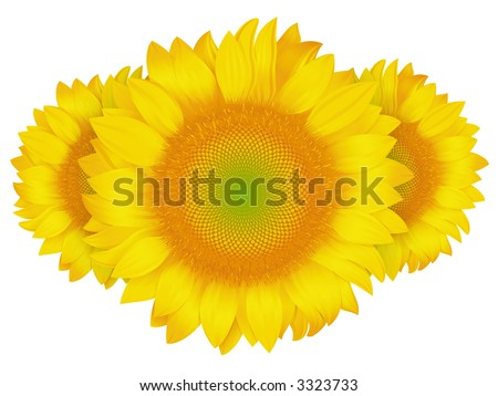 sunflower on a white background - stock photo