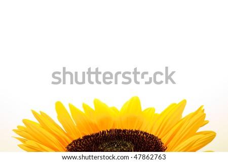 Sunflower on a white blackground - stock photo
