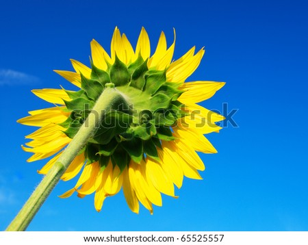 Sunflower on background blue sky. Natural composition - stock photo