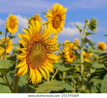 sunflower on background of blue sky - stock photo