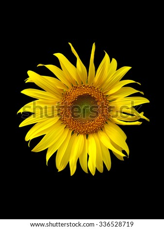 sunflower on black  background,flower, yellow,sunflower texture, sunflower close up - stock photo