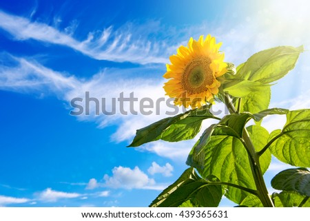 Sunflower on Blue Sky.