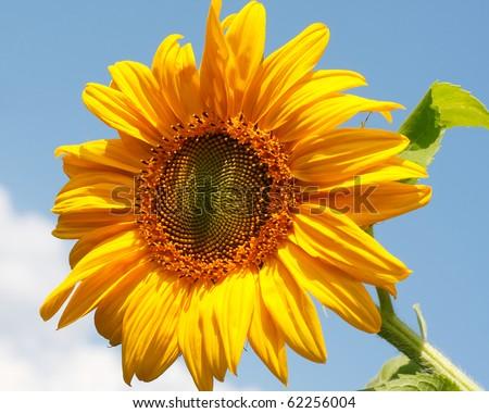 Sunflower on blue sky - stock photo