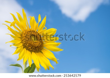 Sunflower on blue sky background - stock photo