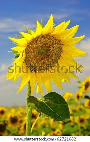 Sunflower on the field against a blue sky - stock photo