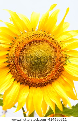 sunflower on white background.