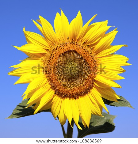 sunflower over blue sky and bright sun lights - stock photo
