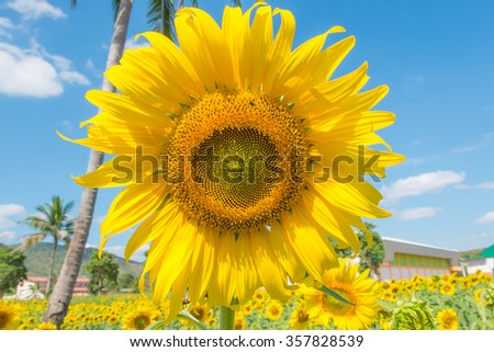 Sunflower over cloudy blue sky and bright sun lights - stock photo