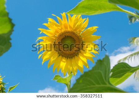 Sunflower over cloudy blue sky and bright sun lights.Select Focus - stock photo