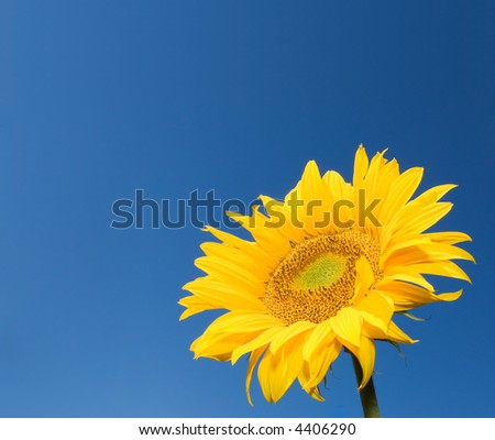 sunflower over deep blue sky background