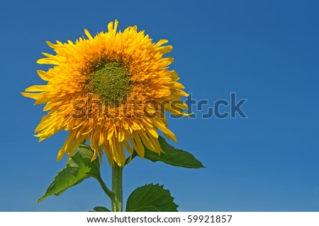Sunflower over the blue sky with copyspace on the right. - stock photo