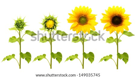 Sunflower plant isolated on white background. Stages of growth. - stock photo