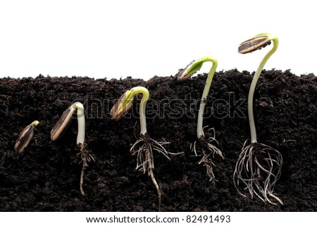 Sunflower plant sprouts germinating in soil - stock photo