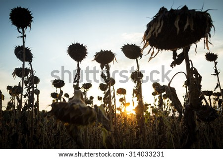 Sunflower plantation affected by drought - stock photo