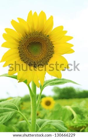 Sunflower pollen. - stock photo
