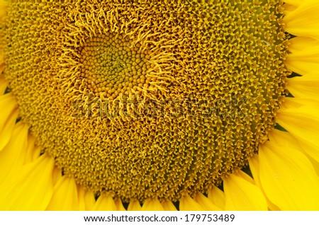 Sunflower pollen pattern. bottom  view close up. - stock photo