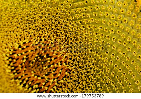 Sunflower pollen pattern. side view close up. - stock photo