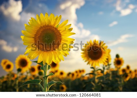 Sunflower portrait. Composition of nature. - stock photo