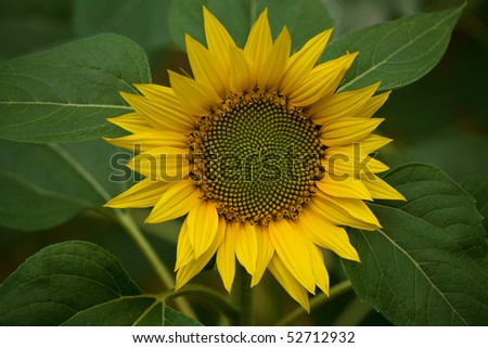 sunflower represents peace hope... - stock photo