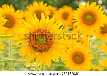 sunflower s in field, You can use background - stock photo