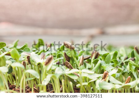 Sunflower seeds sprout in organic farm, stock photo - stock photo