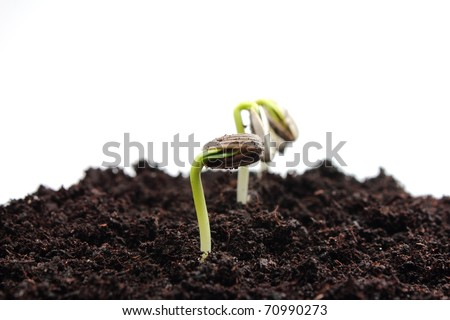 Sunflower sprouts - stock photo